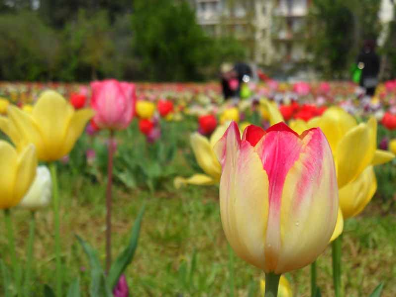 Tulipani Scandicci - Wander and Pick Parco Acciaolo