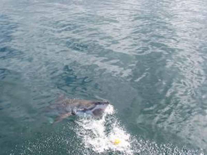 Sulle orme dello squalo bianco