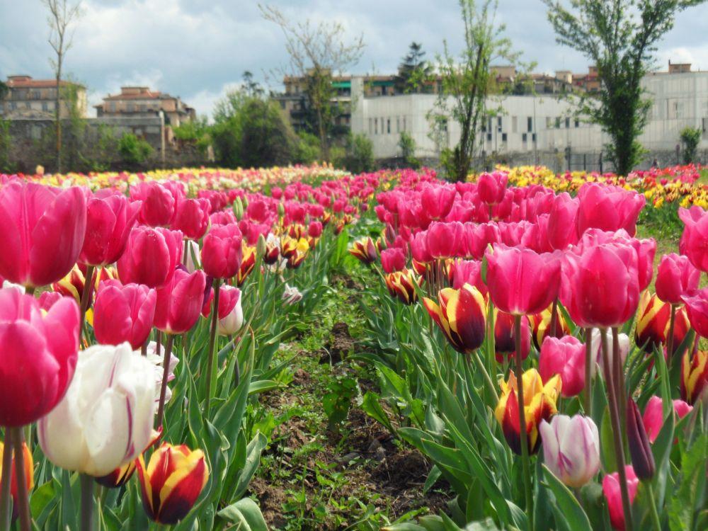 Parco tulipani Scandicci - eventi fine settimana Firenze 29 30 31 marzo