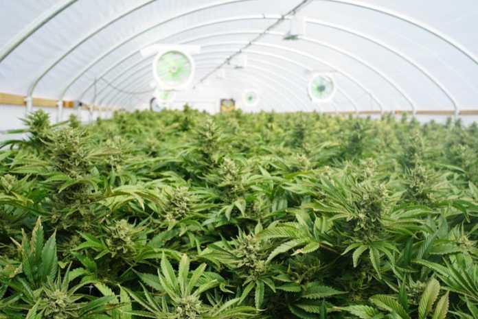 Cannabis terapeutica aumenta la produzione al farmaceutico militare di Firenze