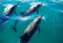 Delfini morti Toscana spiaggiati morbillivirus