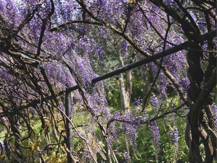 Villa Bardini, la fioritura del glicine è in streaming