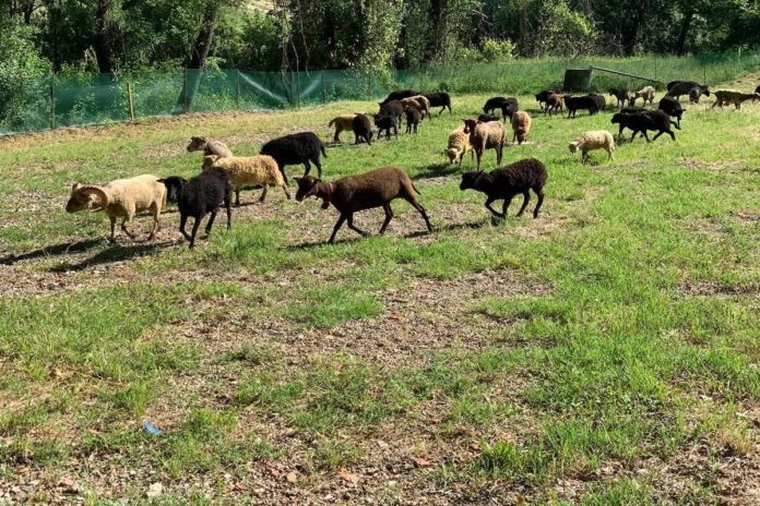 Pecore tosaerba bagno a ripoli